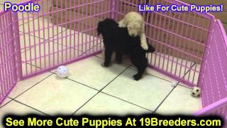 Standard Poodle, Puppies, For, Sale, In, Columbus, Ohio, Oh, North Ridgeville, Mason, Bowling Green,