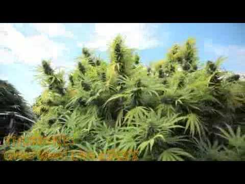 Medical Marijuana Outdoor Growers in Gardens - Mega Tour