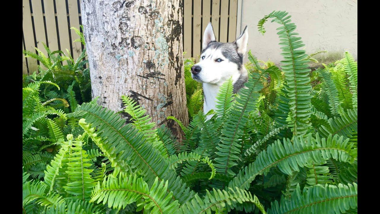 Husky and Bushes! (LOL)