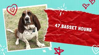 BASSET HOUNDS Dog | The Top 50 Most Popular Dog Breeds In The World.