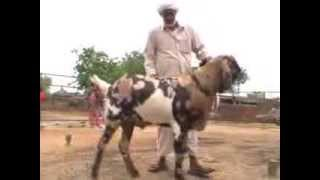 Al Falah Goats Farm EID 2013