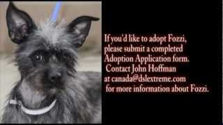 Fozzi Adoptable Dog  : California Miniature Schnauzer Rescue