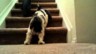 Shih Tzu Holds Ground - Harness Stair Training