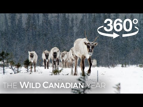 North America's Largest Herd of Caribou on the Move (360 Video) | Wild Canadian Year