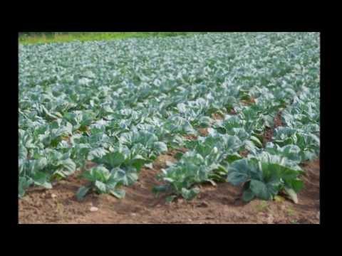 видео: Посадка ,обработка и уборка капусты.