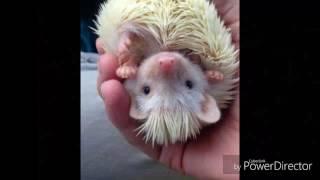 видео Удивительно милые фото ежиков