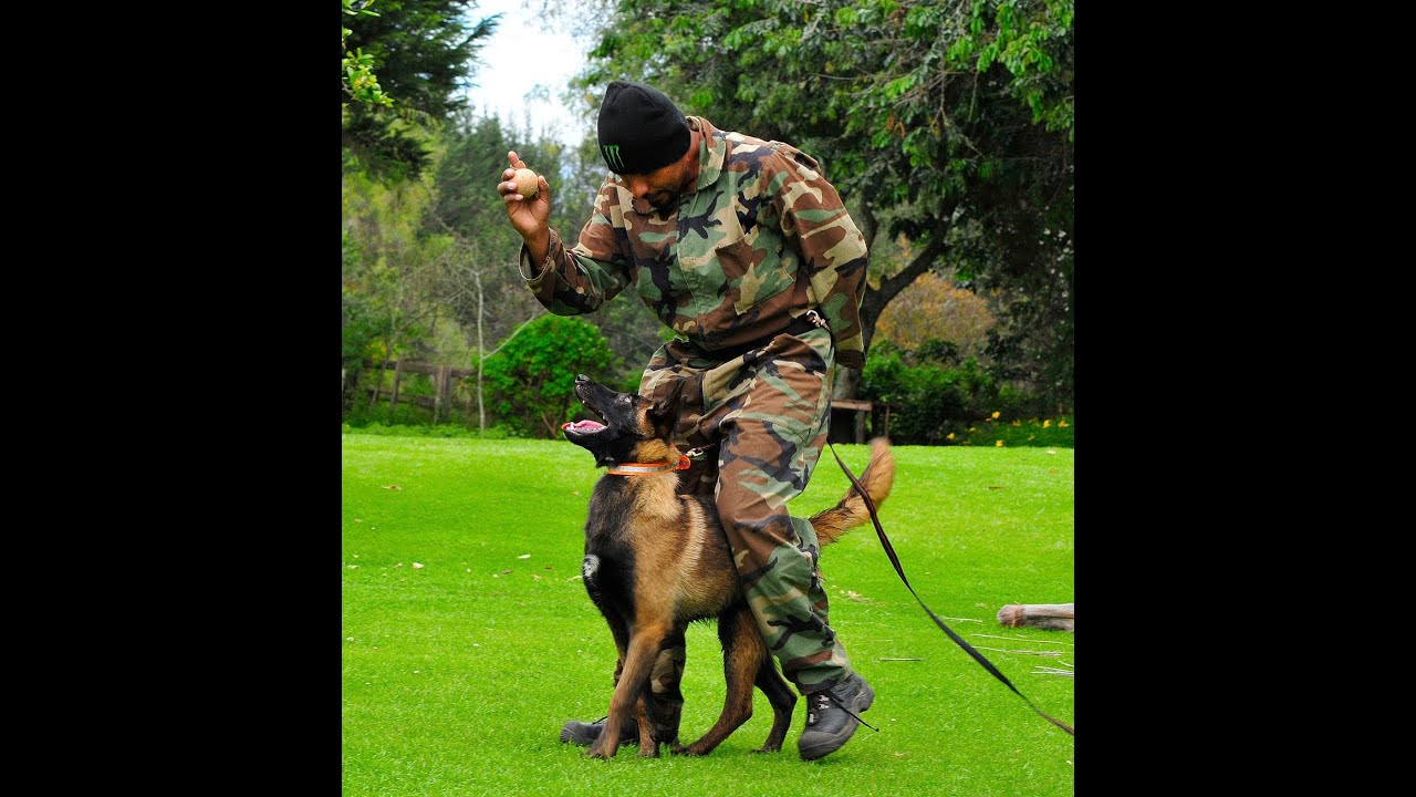Belgian Malinois Green Dogs For Sale 786 206 9330 Youtube