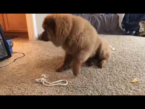 Chow Chow Loses His Teeth