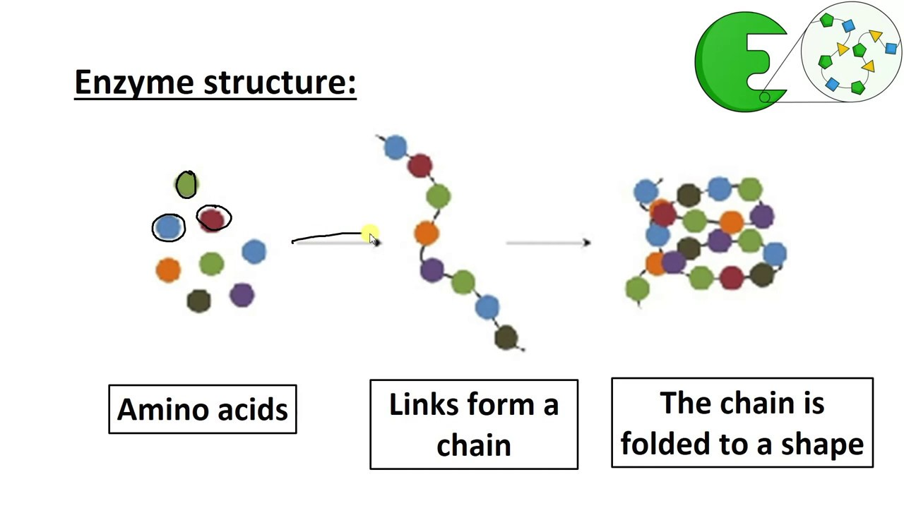 Enzyme Structure  Higher