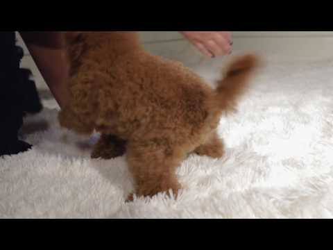 Guys  toy poodle