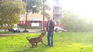 Dog Training Center Perra In Dublin - Dogo Canario