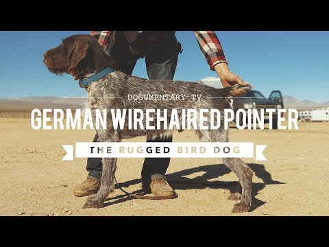 ALL ABOUT GERMAN WIREHAIRED POINTERS