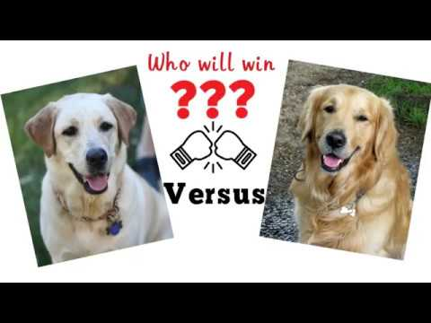 Labrador retriever vs Golden retriever. Dog comparison based on 33 criteria