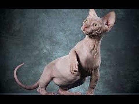 Говорящий кот-сфинкс смотреть онлайн видео от ПТО_SMM в