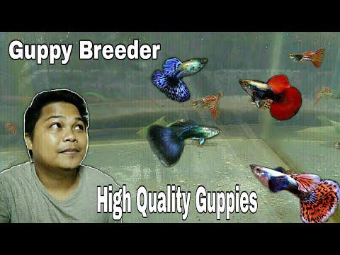 Guppy Fish : High Quality Guppy Fish For Sale