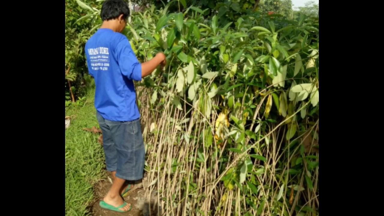 Tanaman Hias Pohon Pule Harga Murah 081335595272 Youtube Daun Karet Kebo Berkhasiat