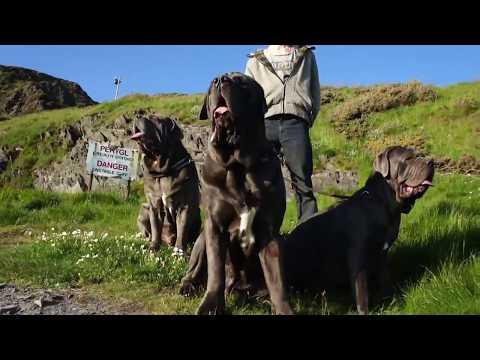 Neapolitan Mastiffs Trip to the Beach
