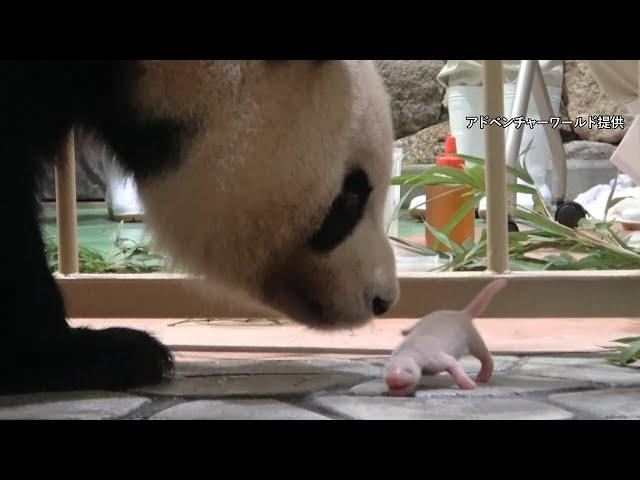 白浜でパンダの赤ちゃん誕生 お父さんは人間なら80代