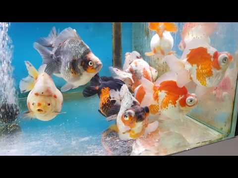 My Visit To Fancy Goldfish Store In The Hague In Netherlands
