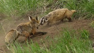A fox and a badger fight in Yellowstone - the whole story