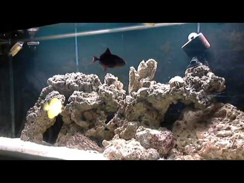 MY Yellow Tang, Clown Fish, Niger Trigger, Picasso Trigger, Singapore Angel, Foxface Rabbitfish