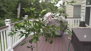 Pruning my Meyer lemon. Tentative cut.