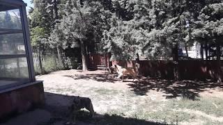 Kangal köpeği, gündüz vakti alan koruma yapar mı?