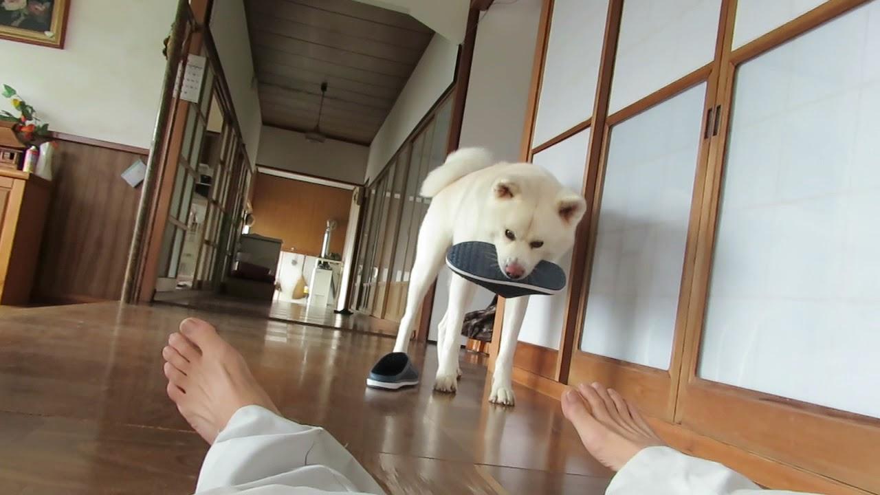 【秋田犬ゆうき】またですか?と思いながら倒れたっぽい飼い主を見に行く【akita dog】