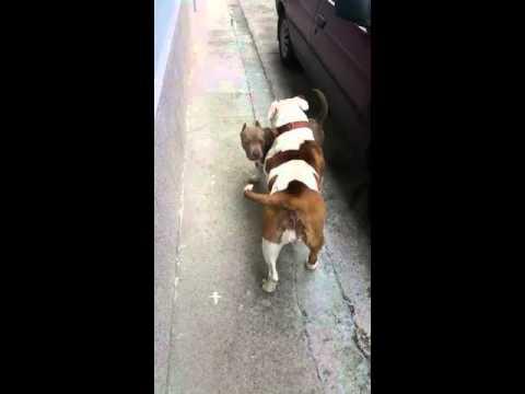 American Bully Y Bulldog Americano Primer Contacto De Bruce Y