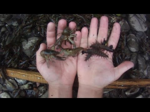 How To #4: Catch Hundreds of Crayfish and Hellgrammites by Seine Net for Bait Fishing