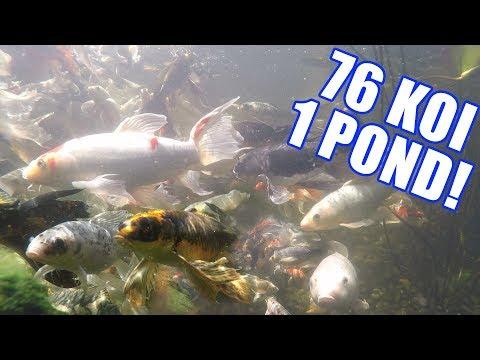 KOI POND MOTHER HAS 76 KOI!! : Greg Wittstock, The Pond Guy