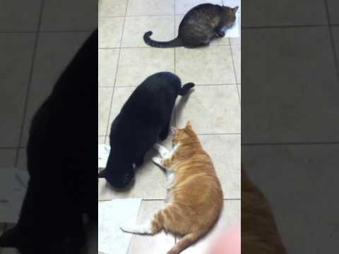 Cats fighting over Cat Nip
