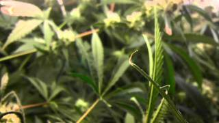How to grow quality dense weed with cfls