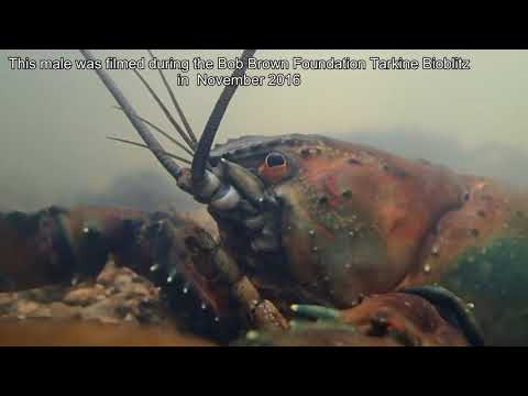 The Giant Freshwater Crayfish Astacopsis Gouldi.  First Footage Of A Battle-injured Male