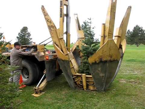 Transplanting Pine Tree
