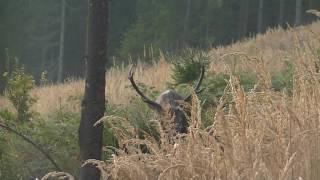 Byki z korei jelenie