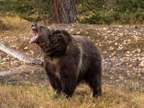 Un-bear-able: Yellowstone National Park Bear Problem.