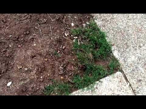 Bermuda grass reclamation project--Vismore Estate update 1