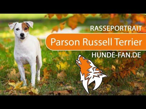 Parson Russell Terrier [2019] Rasse, Aussehen & Charakter