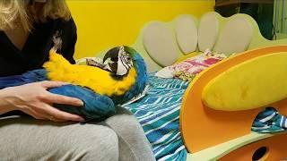 Большой попугай в роли младенца