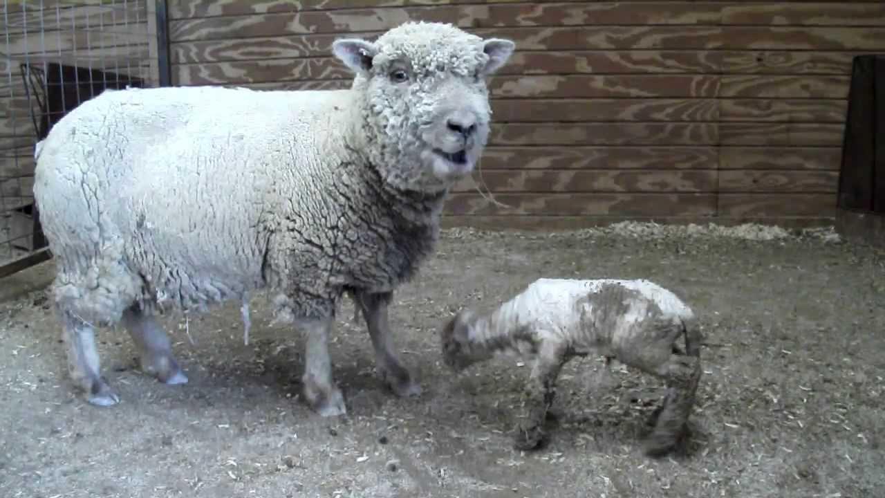 Babydoll Sheep First Babydoll Southdown Lamb Of 2011 Youtube