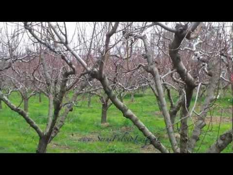 La potatura dell 39 albicocco allevato a vaso doovi for Potatura del melo