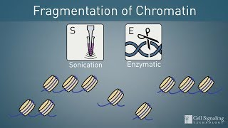 How to Choose: Enzymatic or Sonication Protocol for ChIP