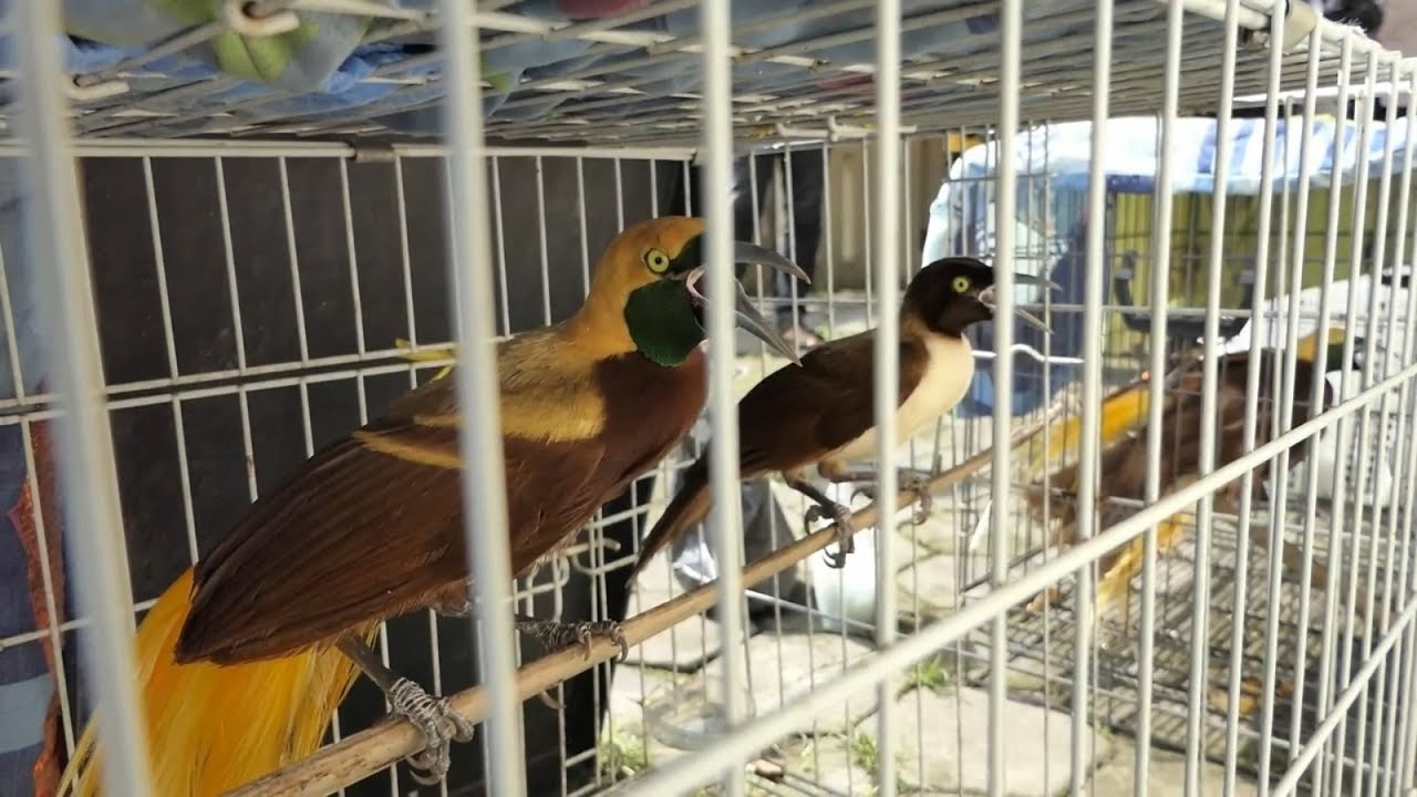 Gawat Sepasang Burung Cendrawasih Dijual 15 Juta Rupiah Net Yogya Youtube