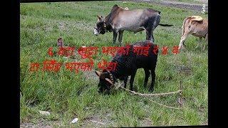 ६ वटा खुट्टा भएको गाई र ४ वटा सिँह भएको भेडा।प्रकृतिको देन वा अभिषाप