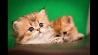 Кот Yachont Magic SunRay Британский котенок черного золотого тикированного окраса BLH ny 25