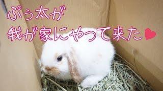 子ウサギのロップイヤーラビットが我が家にやって来た!Child rabbit came to our house