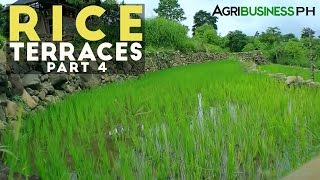 Farming of rice - How to build Rice Terraces - Agribusiness Season 3 Episode 1 Part 4
