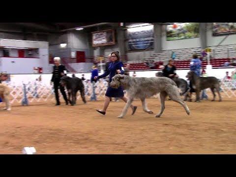 1-6-2018 Nolan River Kennel Club - Irish Wolfhounds
