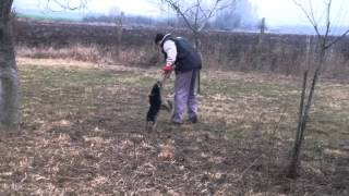 Border Terrier Training 8 Month